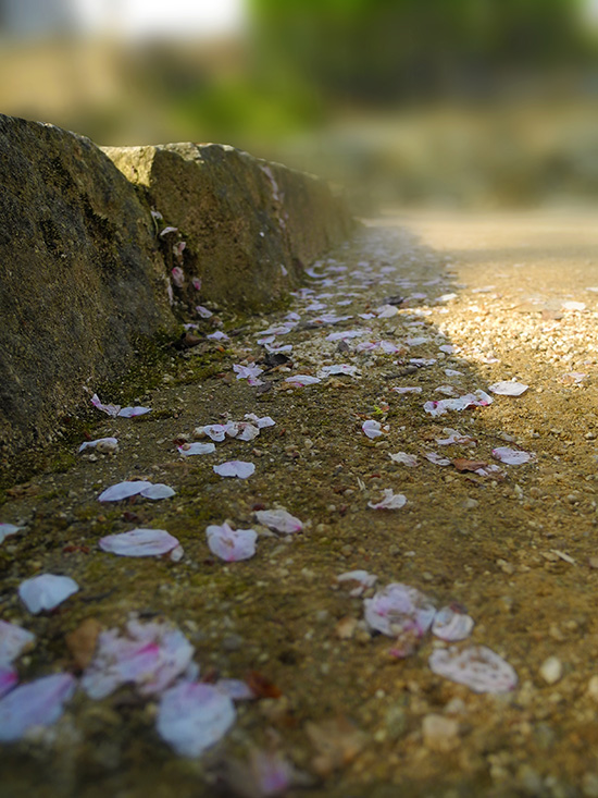Cherry blossoms fall