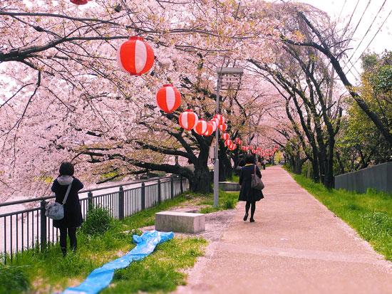 Kyoto cherry blossom bike ride